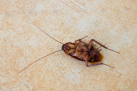 Death cockroach on floor Stock Photo - 18681459