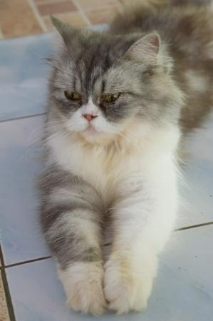 Persian cat lies on the floor