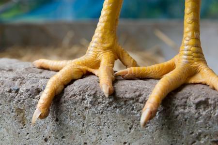 Chicken Foot Stockfoto