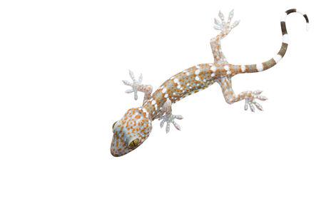 bugaboo: Gecko isolato su sfondo bianco Archivio Fotografico