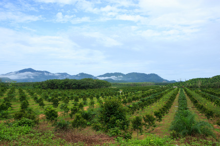 Orange trees plantation