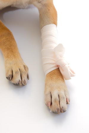 Elastic bandage on puppy's leg Standard-Bild