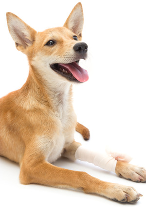 Elastic bandage on puppys leg Stock Photo