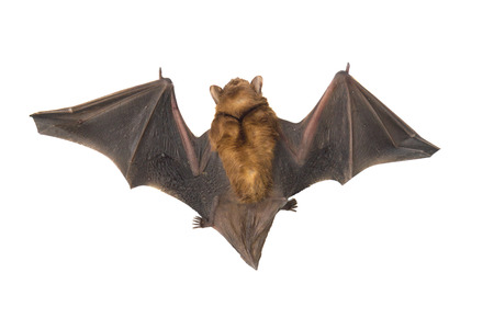 Close up of the bat Isolated on white background Stock Photo
