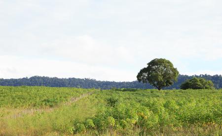 potato tree: Cassava farmland agriculture