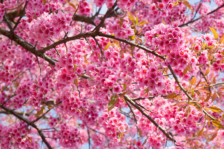 Branch with pink sakura blossoms in Thailand photo