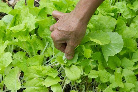 plots: Lettuce plots Stock Photo