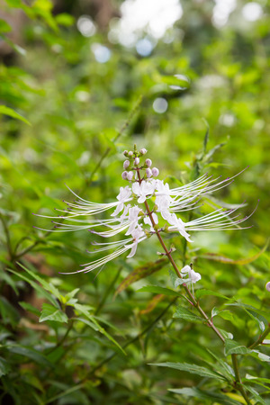 whiskers: Cats whiskers flower, medicinal herbs for diuretic Stock Photo