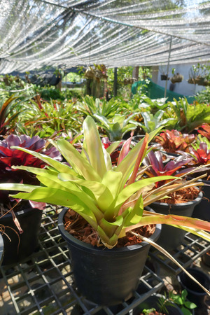 cryptanthus: Colorful Bromeliad plants in garden shop