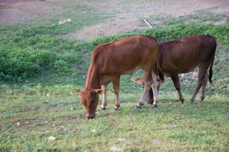Calf eating grass