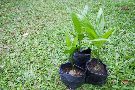 Betel palm cultivation Stock Photo