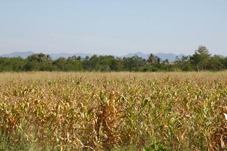 The dried corn field