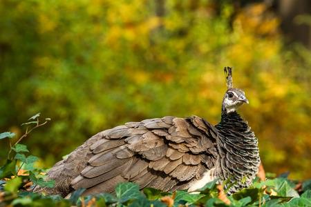 Peafowl (Pavo Cristatus)