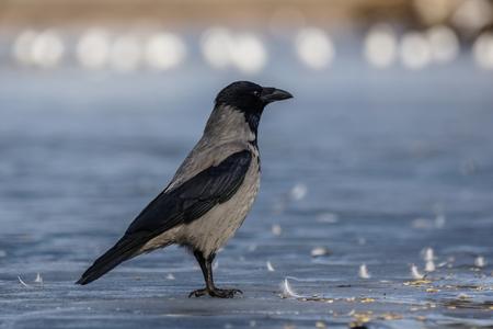 Hooded Crow (Corvus corone)