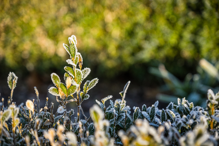 Frozen hedge of a winter morning, natural background Stock Photo
