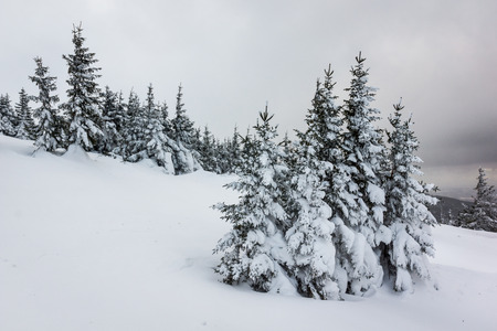 Trees covered with snow in Karkonosze mountain, Sudety, Poland