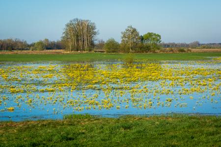 Marsh Marigold on the Narew river in Podlasie, Poland Stock Photo