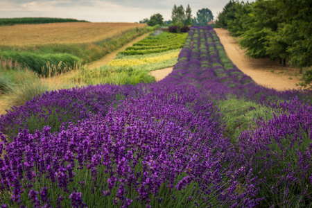 Lavender field in Ostrow near Cracow, Malopolskie, Poland