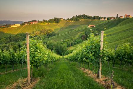 Vineyards with a spring morning in Spicnik, Slovenia 免版税图像