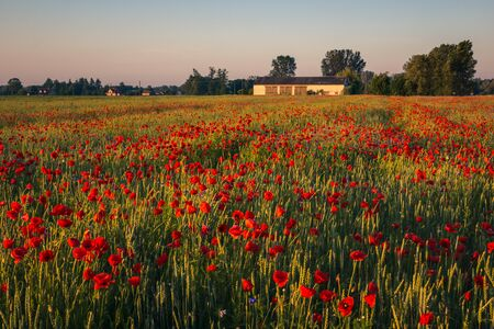 Feld of poppies during a sunny morning