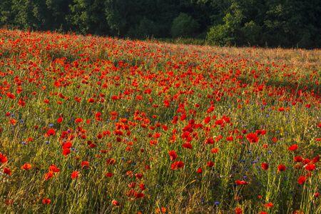 Feld of poppies somewhere in Masuria Stock Photo - 130068126