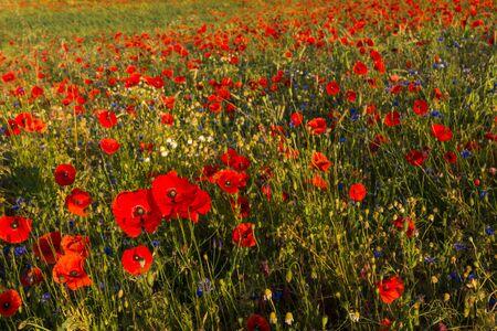 Feld of poppies somewhere in Masuria Stock Photo - 130068129