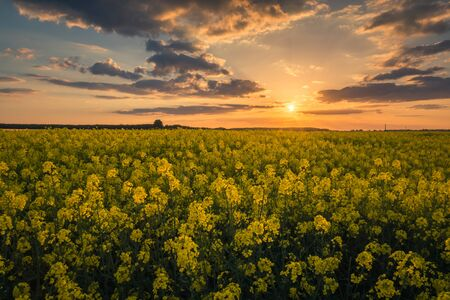 Yellow rapeseed fields during the sunset on a sunny spring day Stock Photo