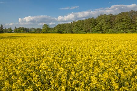 Yellow rapeseed fields and blue sky at sunny spring day