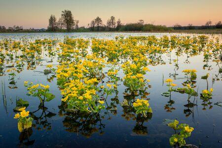 Marsh marigolds on the backwaters of Narew in Strekowa Gora, Podlaskie, Poland Standard-Bild