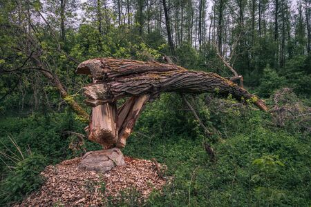 Tree felled by beavers in Jeziorka valley near Piaseczno, Poland