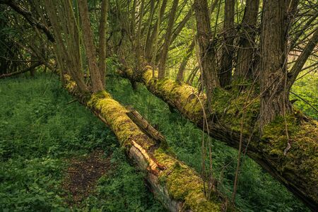 Fallen trees in the forest during spring morning in Jeziorka valley near Piaseczno, Poland