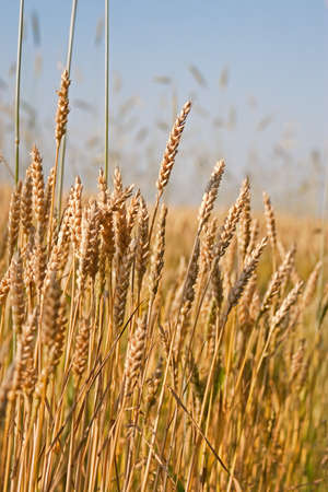 cereal plant: Wheat field on a blue sky background