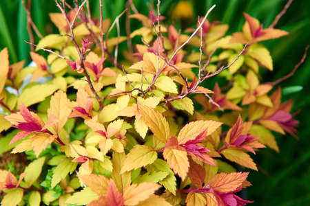 japonica: Spiraea japonica bush with different colorful leaves