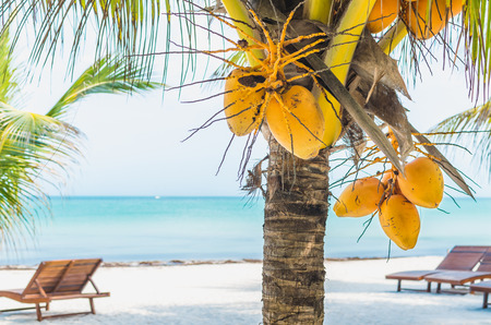 lounges: Tropical coconuts hanging on a palm tree with lounges on the background at exotic white sandy beach in the Caribbean sea, Holbox island, Mexico
