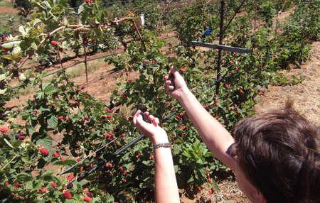 Een vrouw pakt bramen uit de wijnstokken. Stockfoto