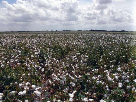 plant gossypium: Grande campo di cotone appena cresciuta, presa alla fine del mese di agosto in Texas