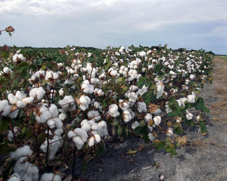 plant gossypium: Cotton field in bloom beside a country road