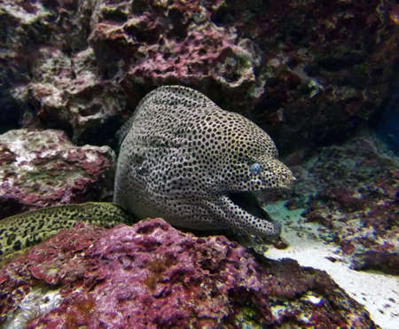 Moray eel emerging from pink coral Imagens