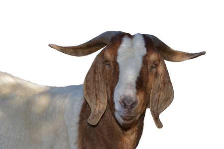 boer: Boer cabra aislado en blanco