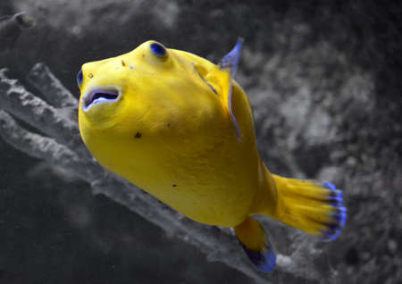 arothron: Golden Arothron Puffer Stock Photo