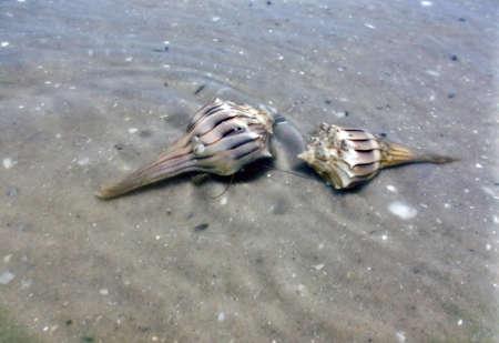 lightening: Two Lightening Whelk shells in the water