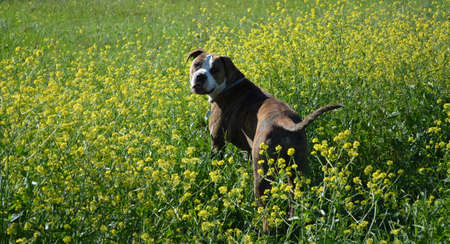 brindle: Brindle Pit Bull in a field of yellow flowers looking back at the camera