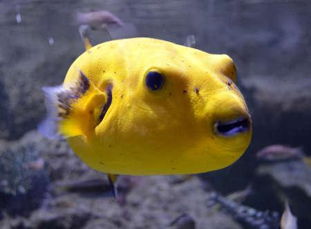 puffer: Yellow Puffer Fish Close-up Stock Photo