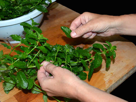 minty: Bunches of fresh mint leaves