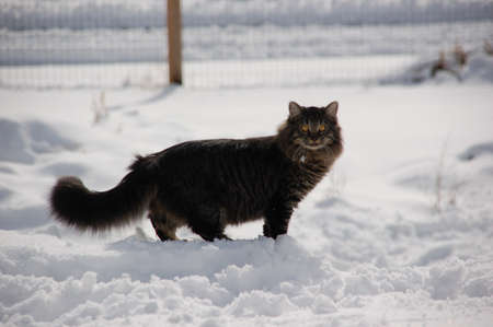 feral: Long Haired Feral Cat in Snow