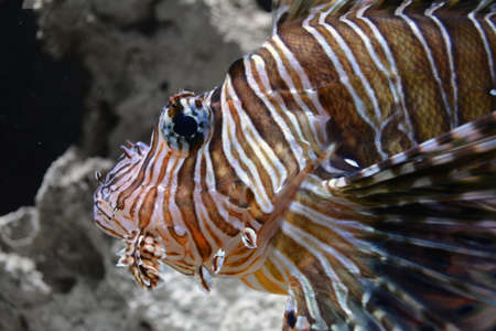 face close up: Lion FIsh Face Close up Stock Photo