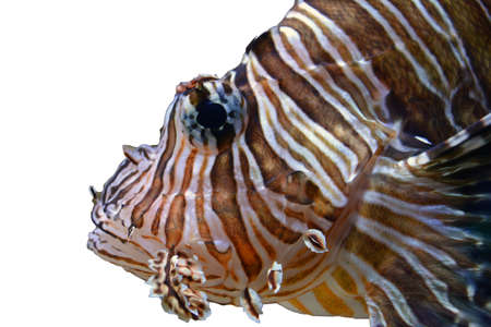 salt water fish: Lion Fish Face on White Background