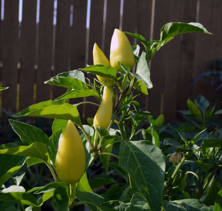 sweet peppers: Yellow Sweet Peppers