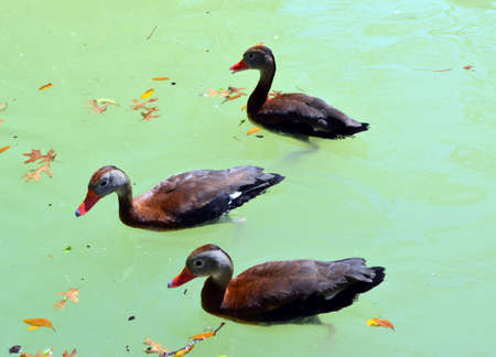 whistling: 3 Whistling ducks swimming in a pond