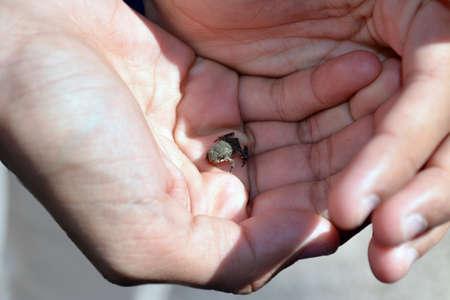 tiny frog: Hands holding tiny frog Stock Photo